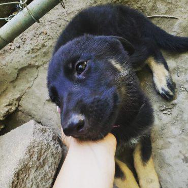 Meet Navie, the Miniature German Shepherd mix