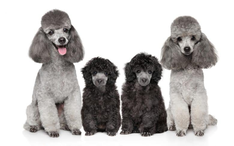 Meet the family of Grey Poodles