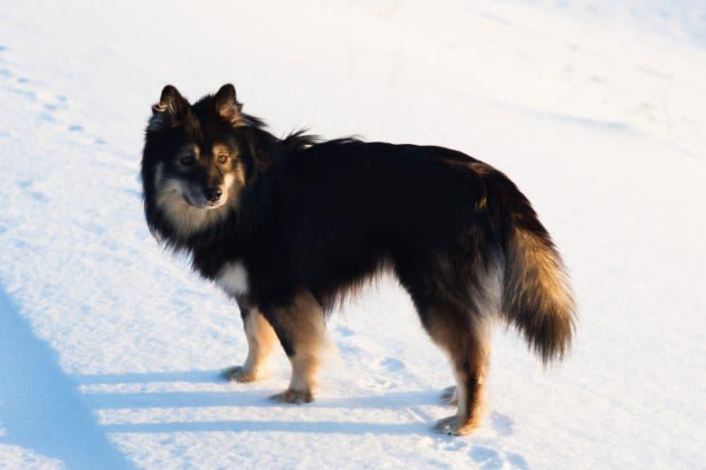 Meet the Finnish Lapphund