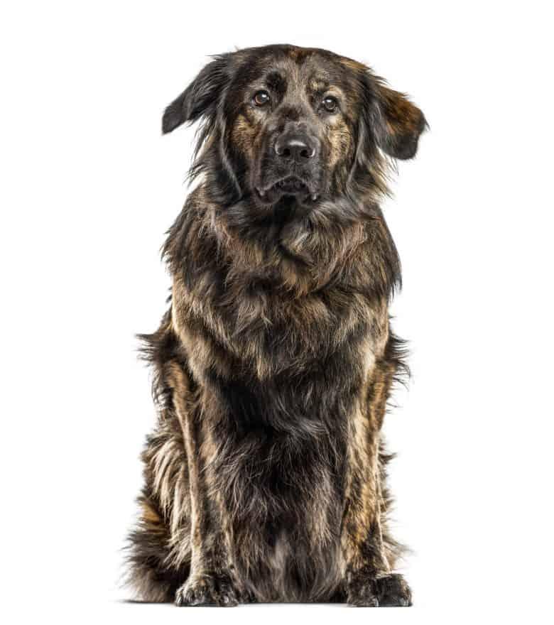 Meet the German Shepherd & Golden Retriever mix
