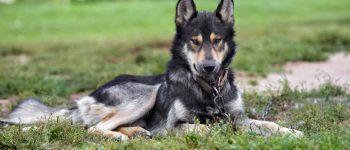Meet the German Shepherd Wolf mix