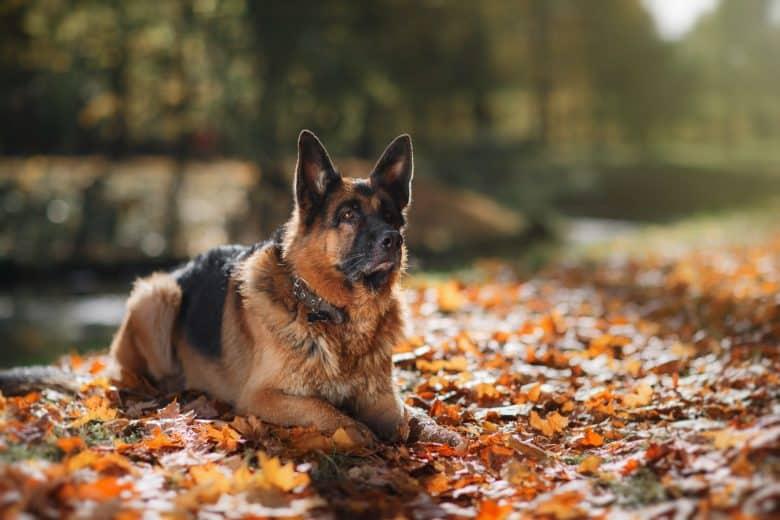 Meet the German Shepherds