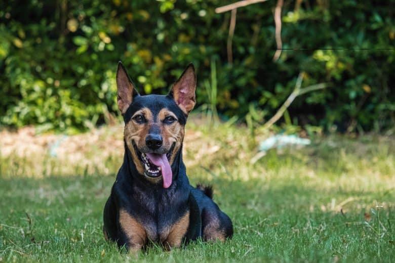 The panting German Shepherd Doberman mix dog resting on the grass