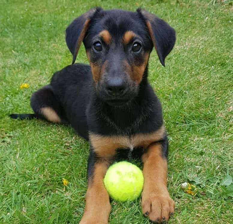 Young German Shepherd Doberman mix puppy playing tennis ball