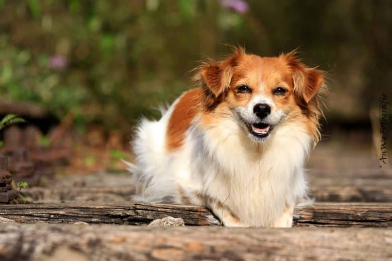 Meet Cookie, the Papillon Chihuahua mix