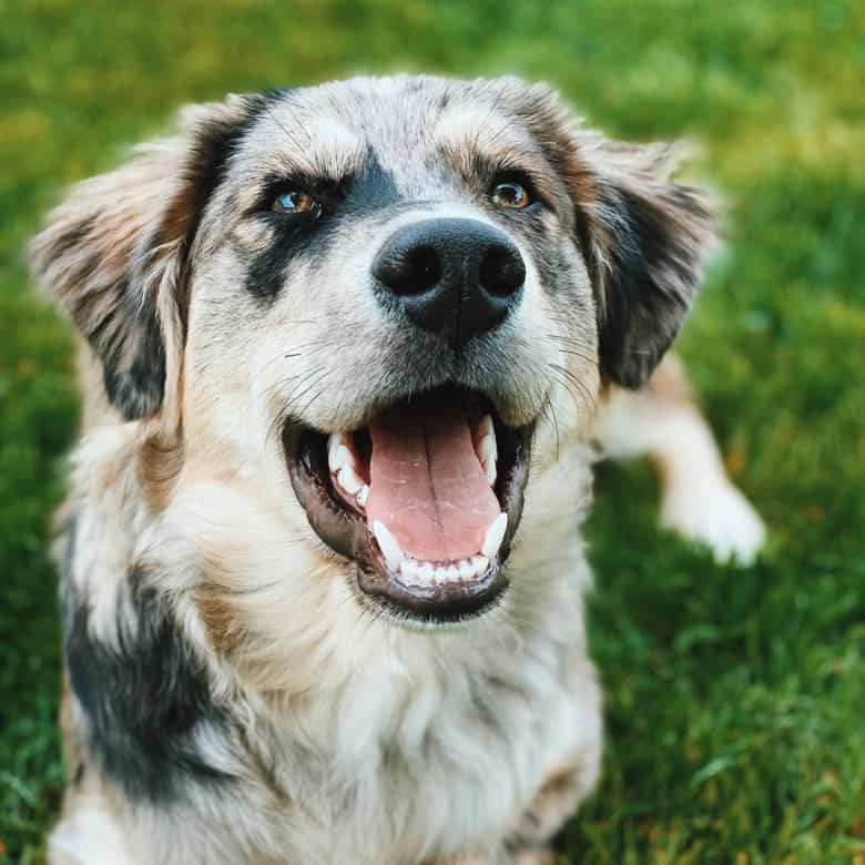 A healthy Golden Australian Shepherd dog
