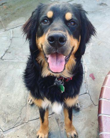 Meet Arlo, the Bernese Mountain Dog & Golden Retriever mix