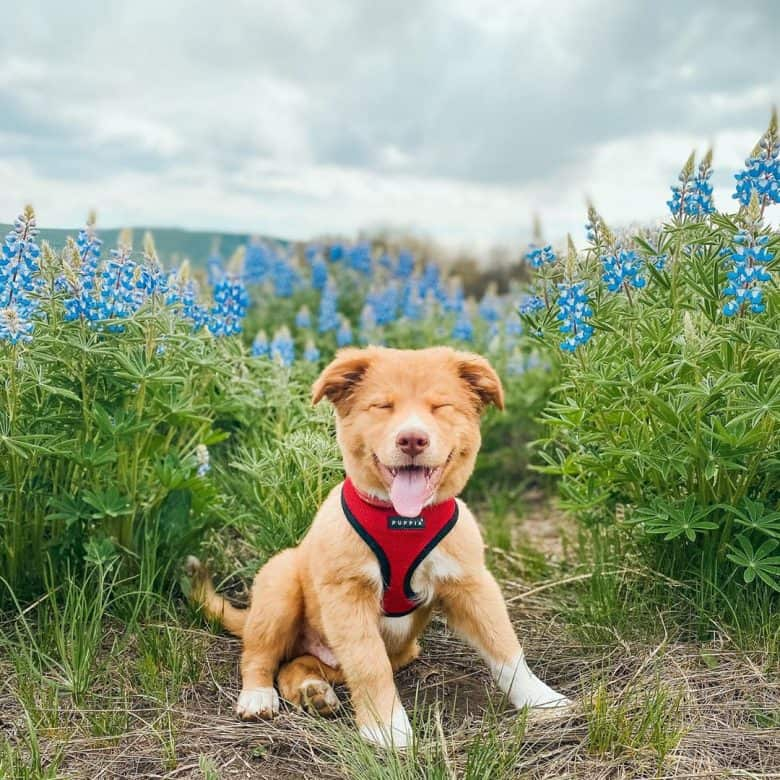 Meet Loki, the Golden Retriever-Australian Shepherd mix