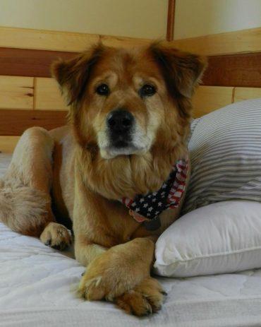 Meet the Golden Retriever Chow mix dog