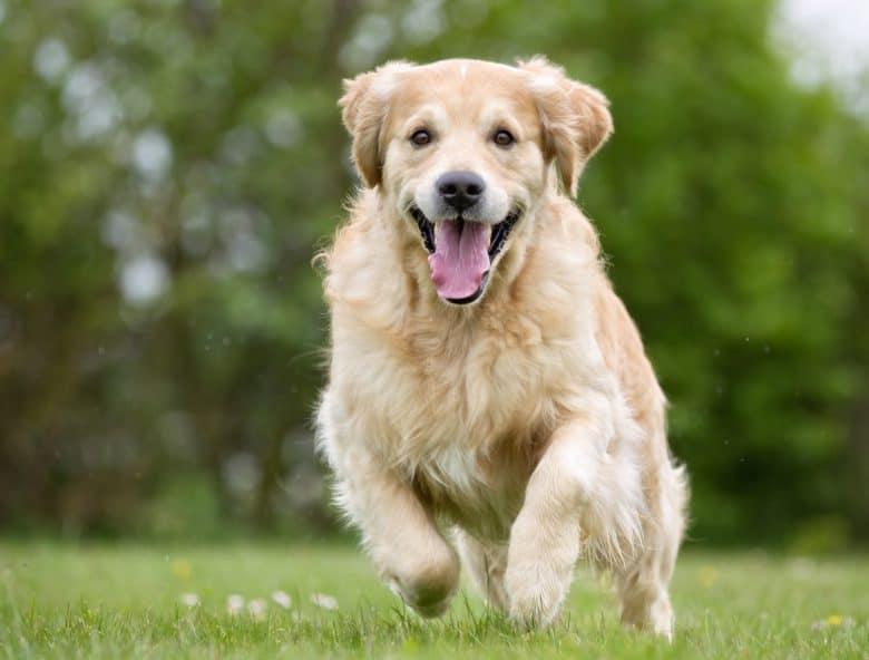 Meet the Golden Retriever dog