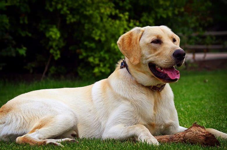 Golden Retriever Labrador mix