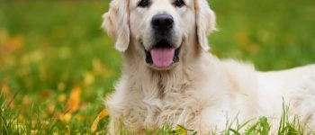 Learn more about the Golden Retriever lifespan