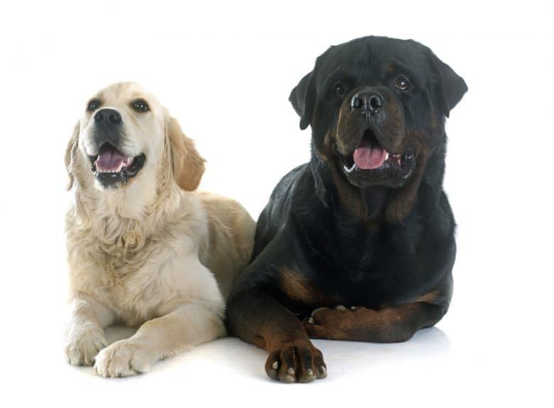 Meet the Golden Retriever and Rottweiler mix
