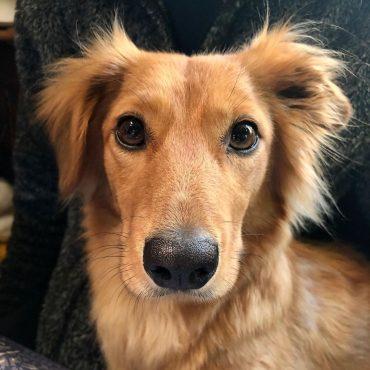 Meet Ginny, the Golden Weenie