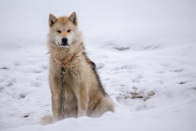 Meet the Greenland Dog