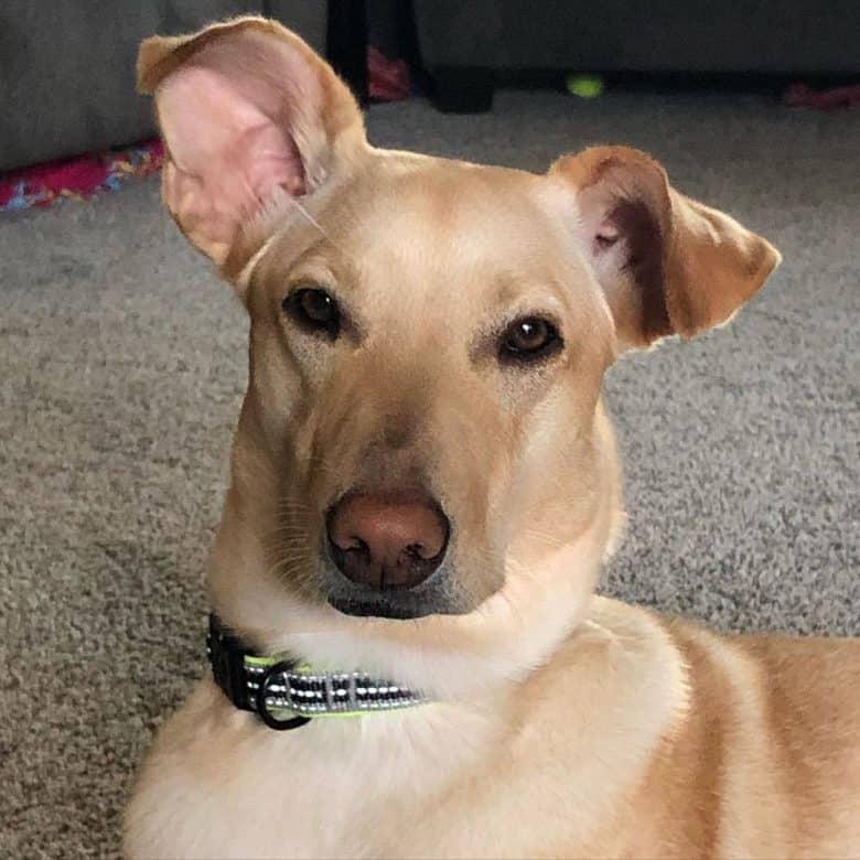 Meet the Greyhound & Golden Retriever mix