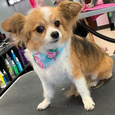 Meet Mickey, the Papillon Chihuahua mix