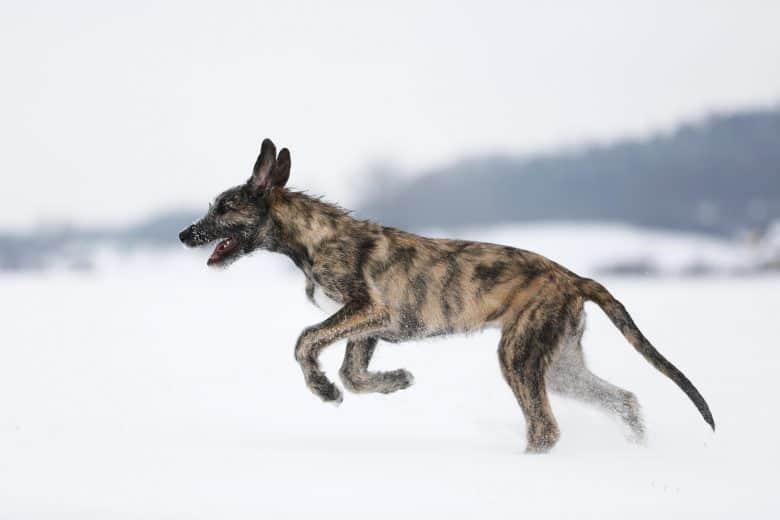Meet the Irish Wolfhound