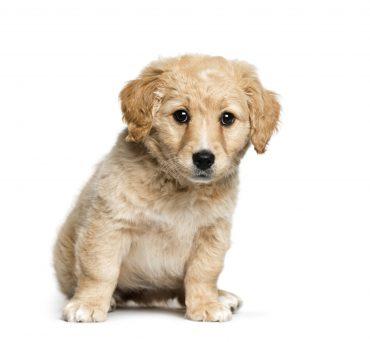 Meet the Jack Russell Terrier & Golden Retriever mix puppy