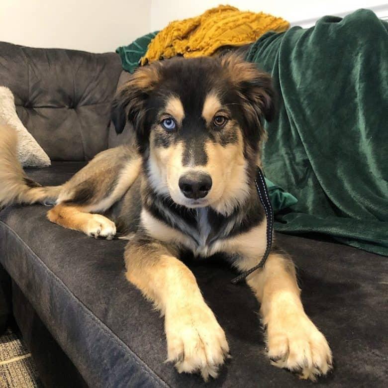 Meet Kai, the Golden Retriever Husky mix