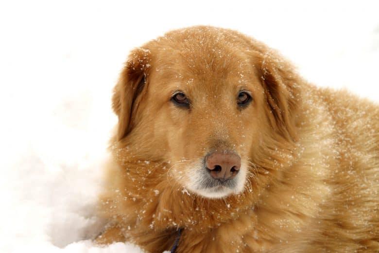 Meet Labrador Retriever & Golden Retriever mix