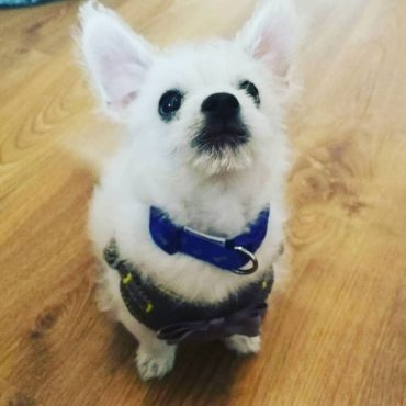 Meet Billy, the Poochi Dog