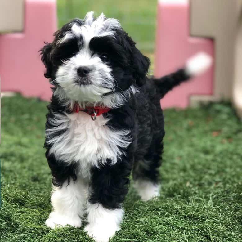 Meet Lyka, the Mini Aussiedoodle