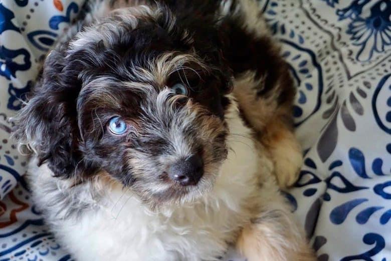Meet Q, the Mini Aussiedoodle
