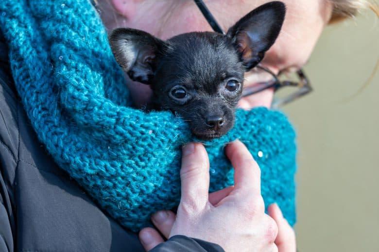 Meet the Chipoo Dog