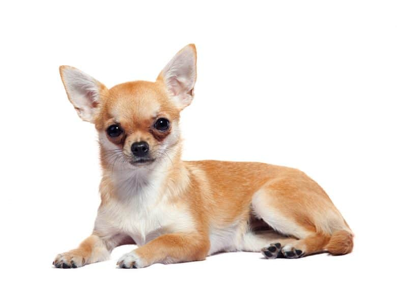 A tiny Chihuahua laying with white background