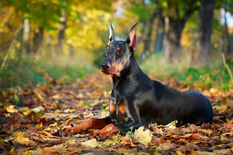 a Doberman Pinscher laying on dried leaves