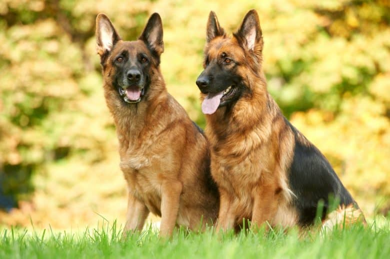 Two German Shepherd dogs sitting on green grass