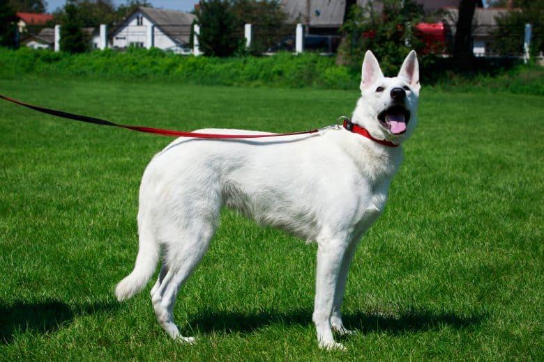 The gorgeous White Swiss Shepherd dog
