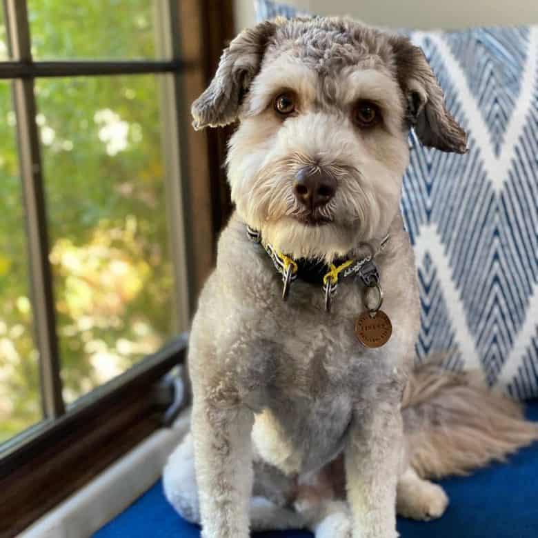 Meet Finley, the Mini Aussiedoodle