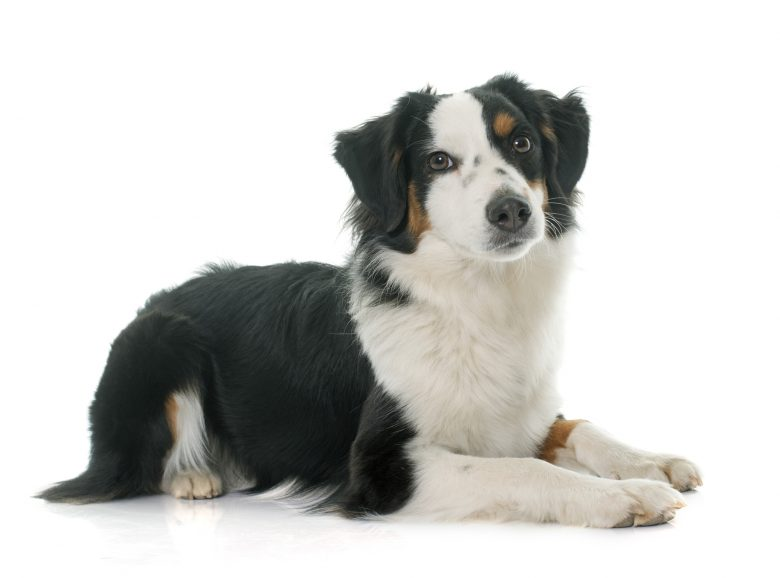 A tri-color Miniature Australian Shepherd laying