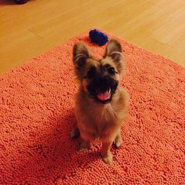Meet Amy, the Miniature German Shepherd puppy