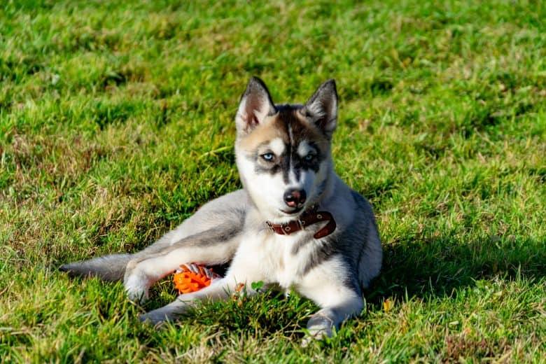 Meet the Miniature Husky