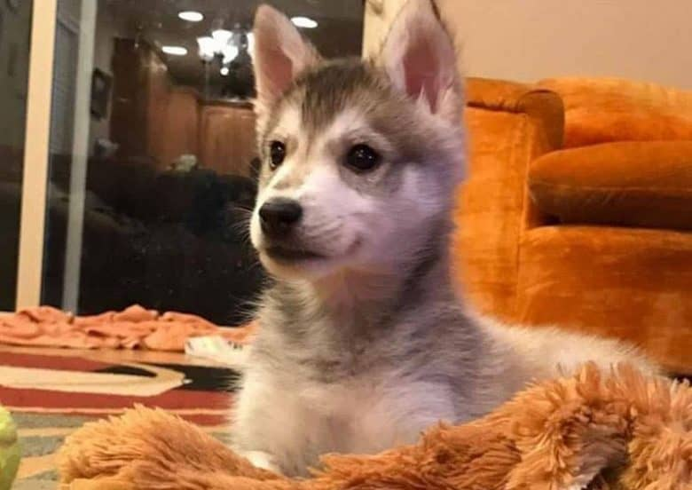 Mini Husky puppy being curious