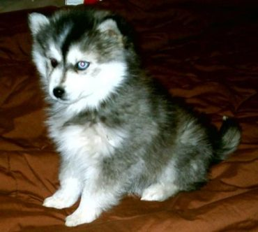 Meet the Miniature Siberian Husky