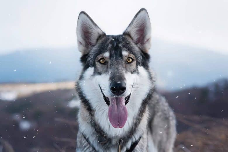 Meet the Northern Inuit Dog
