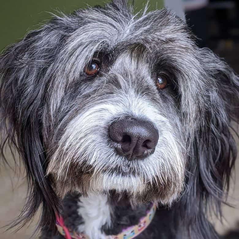 Meet Lucy, the Old English Sheepdog & Golden Retriever mix