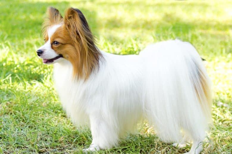 Meet the small Papillon dog