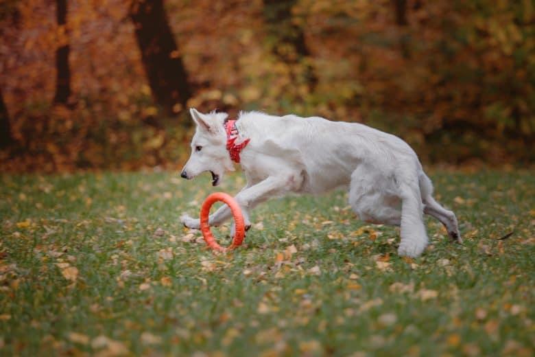 Playful White Swiss Shepherd dog