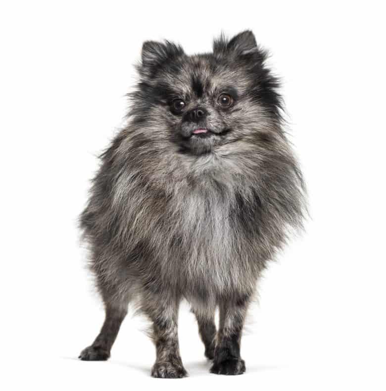 Meet the Pomeranian