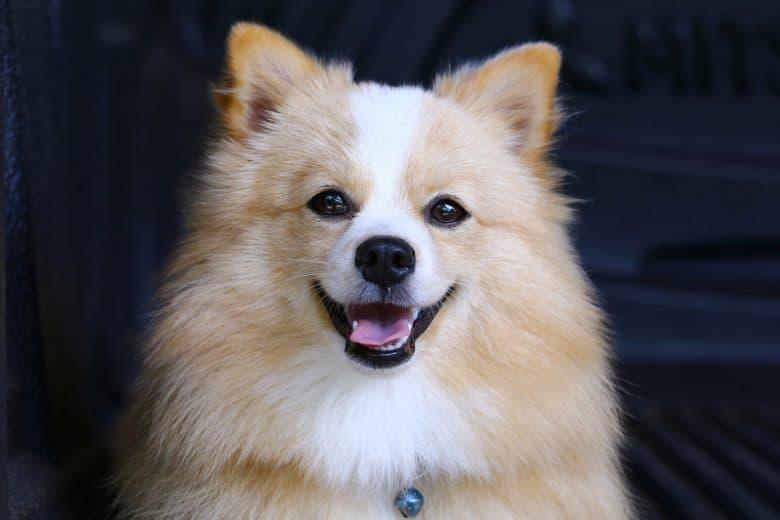 Pomeranian Chihuahua mix dog with brown Sarawasi