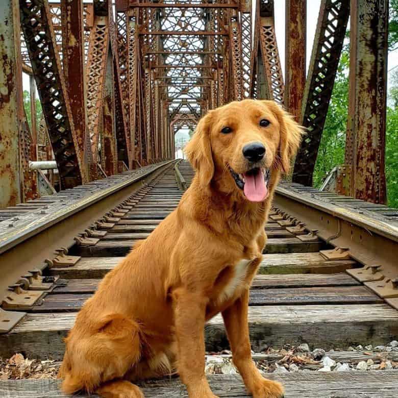 Meet Valco, the Poodle, Cocker Spaniel, & Golden Retriever mix