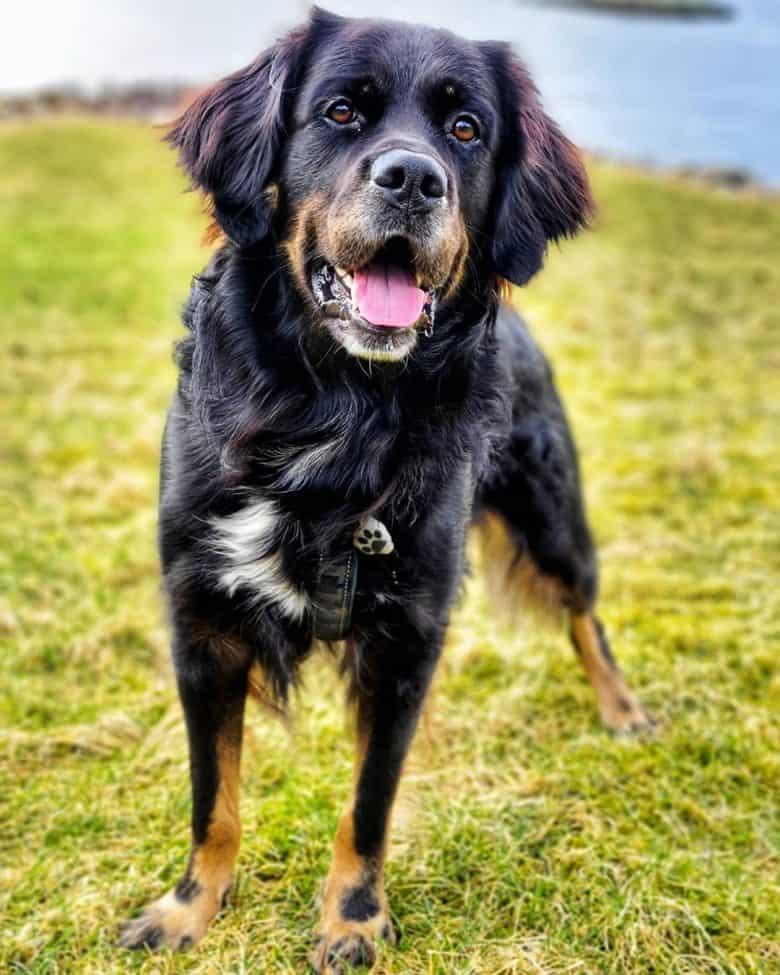 Meet Scottie, the Rottweiler & Golden Retriever mix