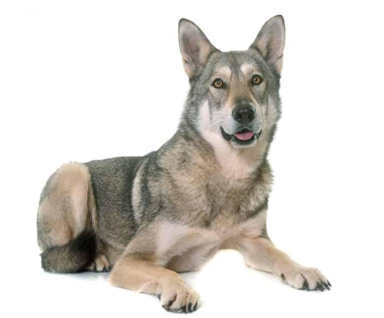 Meet the Saarloos Wolfdog