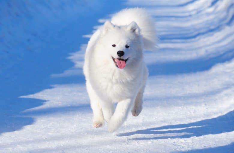 A running white Samoyed on snow