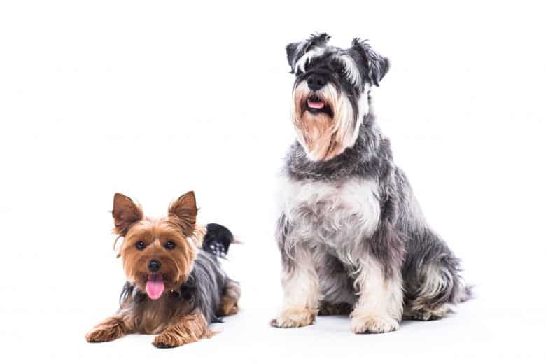 Get to know the Yorkshire Terrier and Schnauzer mix